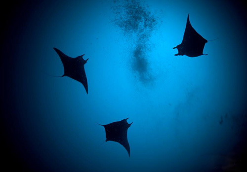 Deep Dive - Looking up at the Manta Rays